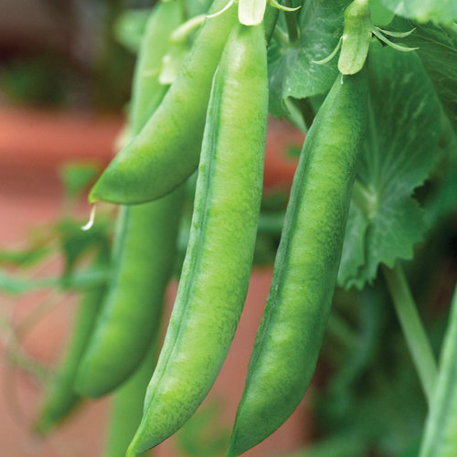 Pea Hurst Greenshaft Maincrop 200 Veg Seeds