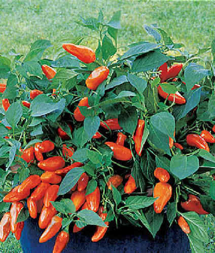 Tangerine Dream Sweet Pepper 6 Seeds