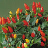 Tabasco Hot Chili Pepper 30 Seeds