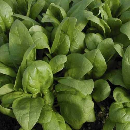 Spinach Bonbini F1 Vegetable Seeds