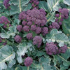Broccoli Early Purple Sprouting 650 (2g) Seeds