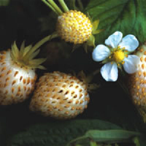 Strawberry White Delight Fruit Seeds