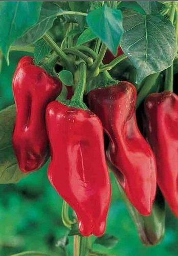 Sweet Pepper Marconi Red 90 Fruit Seeds