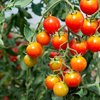 Tomato Chadwick Cherry Vegetable/Fruit Seeds