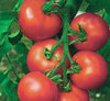 Tomato Alicante Vegetable/Fruit Seeds
