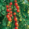 Tomato Gardener's Delight Vegetable Seeds