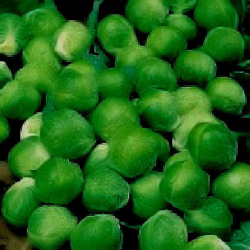 Brussels Sprout F1 Green Marble Vegetable Seeds