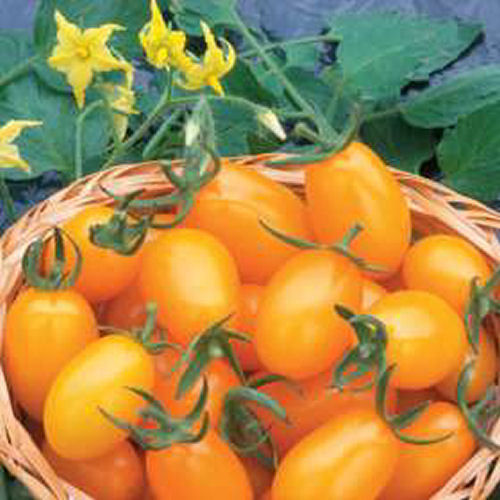 Tomato Golden Sweet F1 Hybrid 6 Vegetable Seeds