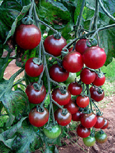 Tomato Rosella F1 12 Vegetable Seeds