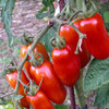 Tomato San Marzano 40 Vegetable Seeds