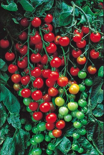 Tomato Super Sweet 100 VF 6 Vegetable Seeds