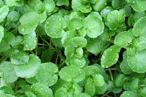 Watercress 1000 (3g) Herb Seeds