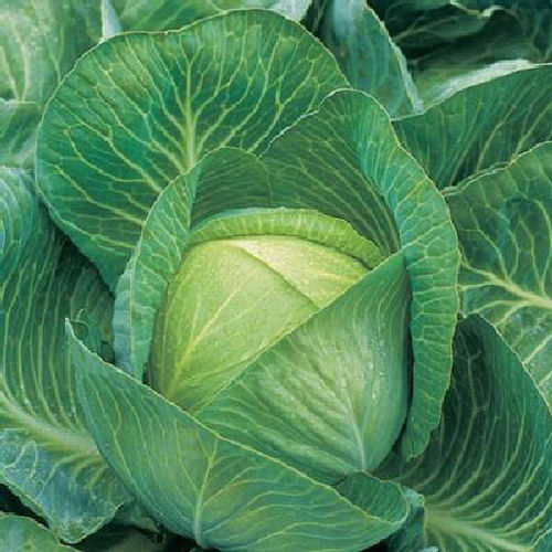 Cabbage F1 Kilaton 10 Vegetable Seeds