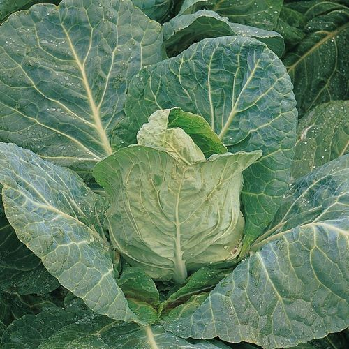 Cabbage Durham Early 450 Spring Vegetable Seeds