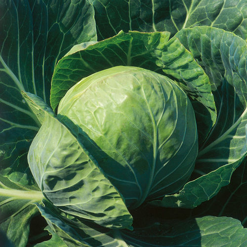 Cabbage F1 Spring Hero 30 Vegetable Seeds