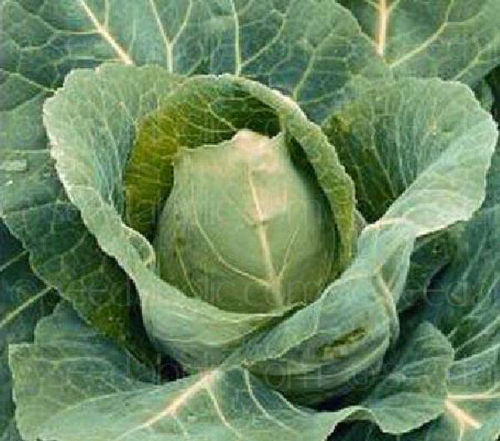 Cabbage Offenham 3 Wintergreen 300 Seeds