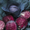 Cabbage Red Drumhead 300 Vegetable Seeds