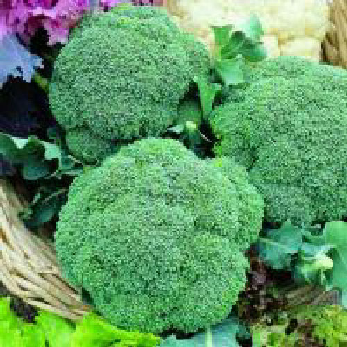 Calabrese Green Magic F1 40 Vegetable Seeds