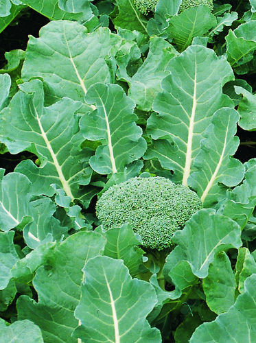 Calabrese Samson F1 40 Vegetable Seeds