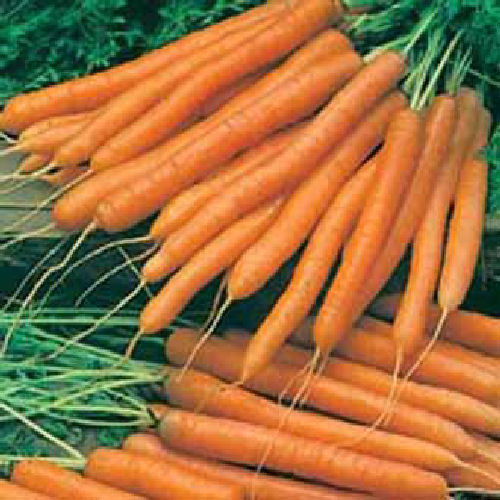 Carrot Amsterdam Forcing 2 1600 Vegetable Seeds