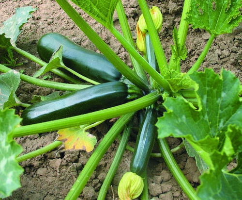 Courgette Green Bush 15 Vegetable Seeds
