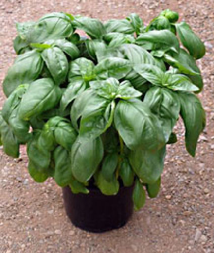 Basil Emerito - Herb 300 (0.6g) Vegetable Seeds