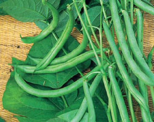 Climbing French Bean Blue Lake Stringless Seeds