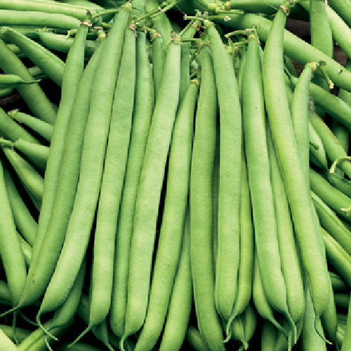 Dwarf French Bean The Prince Vegetable Seeds