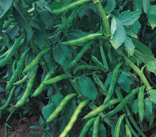 Broad Bean Aquadulce Claudia 30 Vegetable Seeds