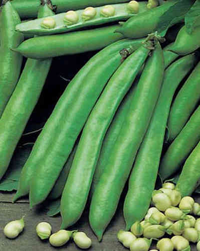 Broad Bean Imperial Green Windsor 50 Seeds