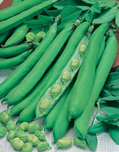 Broad Bean Masterpiece Green Longpod 60 Seeds