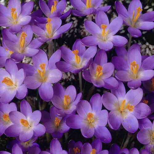 Crocus Barrs Purple Spring Flowering Bulbs