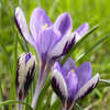 20 x Crocus Chrysanthus Spring Beauty Bulbs