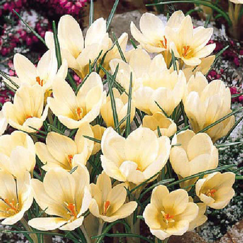 20x Crocus Chrysanthus Cream Beauty Spring Bulbs