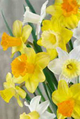 50x Mixed Narcissus February Gold Daffodil Bulbs