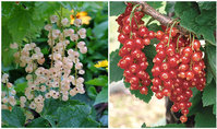 Red/White Currant Plants