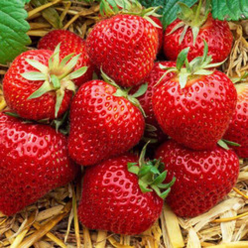 10x Strawberry Everbearer Albion Bare Root Plant