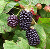 Blackberry Bedford Giant Early Fruiting Plant