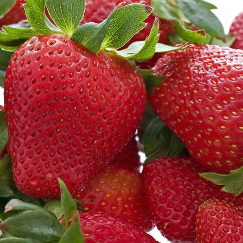 10 x Strawberry Florence Bare Root Plant