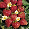 10x Strawberry Cambridge Bare Root Plants