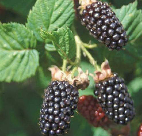 Blackberry Merton Thornless Plant