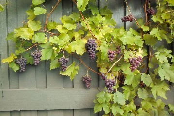 Red Grape Vine Boskoop Glory Plant 0.5Ltr Pot
