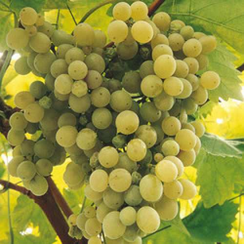 White Grape Vine Madeleine Sylvaner Plant