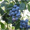 Blueberry Fruiting Dixi Late Season Plant