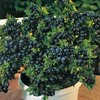 Blueberry Top Hat Dwarf Plant