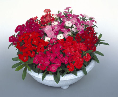Dianthus - F1 Diamond Mixed 12 Flower Seeds