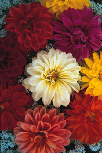Dahlia 70 Unwins Dwarf Mixed Hybrid Flower Seeds