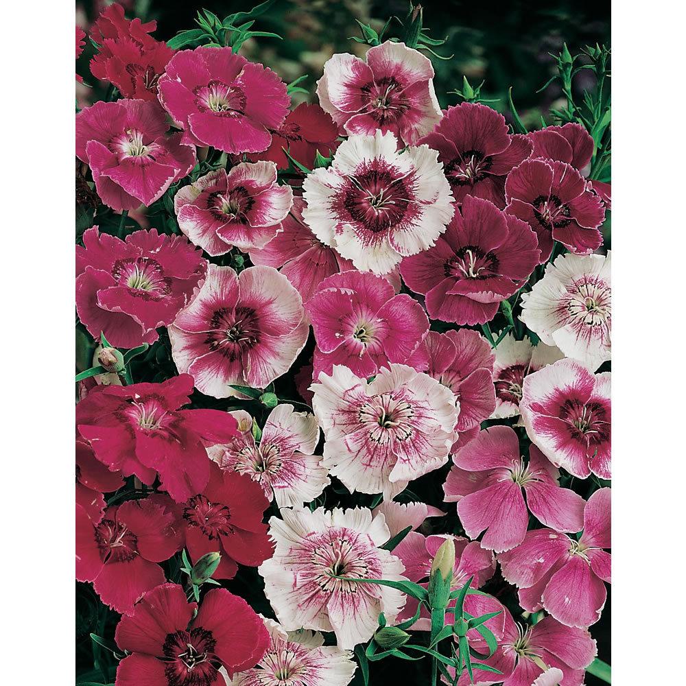 Dianthus Baby Doll Mixed 200 Flower Seeds Viridis Hortus