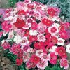 Dianthus - Baby Doll Mixed 200 Flower Seeds