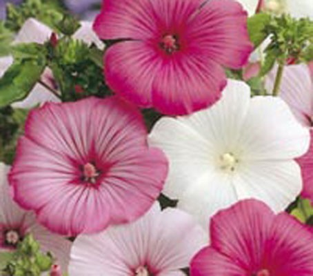 Lavatera - Beauty Mixed 100 Flower Seeds